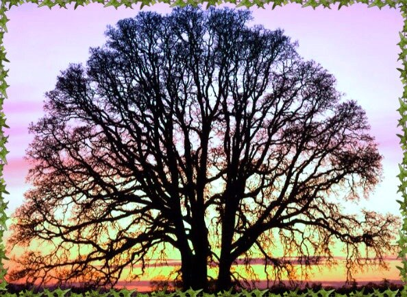 Oak Tree - oak-trees.jpg (148 kb)